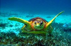 A meet and great with your best friend te turtle. Look how these curious creatures approach and investigate you. A great scuba dive is one with an encounter with a turtle.