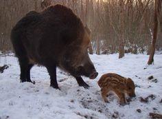 Wild Boar Sow and Piglet.  www.gunbid.co.uk