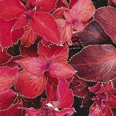 Coleus Giant Exhibition Scarlet Magma