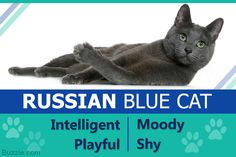 Russian Blue cats are one of the most elegant and distinguished cats. This article will help you learn all about the Russian Blue cat's personality, and help you understand this feline better.