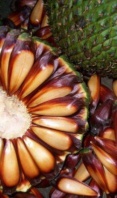 SC e Paraná adotam datas diferentes para início da colheita do pinhão  http://www.informedevalor.com.br/sc-e-parana-adotam-datas-diferentes-para-inicio-da-colheita-do-pinhao/