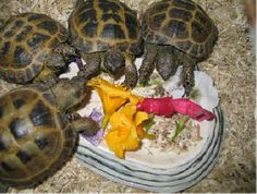 Russian tortoises feasting on flowers