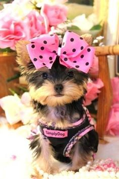 Yorkie pretty in pink