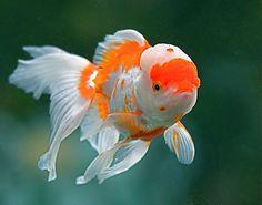BlueMoo 1 PC Plastic Grass Artificial Water Plant for Fish Tank Aquarium Ornament Decoration-Red Comet Goldfish, Oranda Goldfish, Goldfish Pond, Pretty Fish, Beautiful Fish, Underwater Creatures, Ocean Creatures, Aquascaping, Colorful Fish