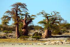 Baobab trees on Kudu Island, Botswana