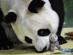 Ju Xiao with one of her triplets at the Chimelong Safari Park in Guangzhou, China.Look how tiny the baby is !