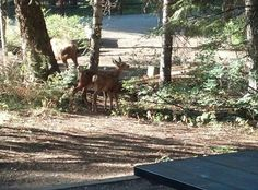 Doe and 2 fawn in Ponderosa State Park