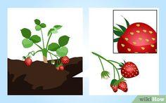Faire pousser des fraises