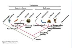 Arthropoda is the largest phylum an contains the