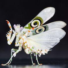Son de color blanco con rayas naranjas y verdes, y los adultos tienen en sus alas un dibujo parecido a un ojo. Si se siente amenazada la mantis flor espinosa, pondrá sus alas hacia arriba para mostrar sus ojos.