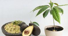 Cómo obtener tu propio árbol de aguacate a partir de su semilla   Upsocl Verde