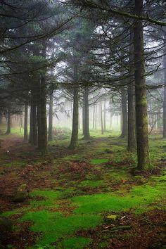 A forest, Nebulous Madeira: Pico do Arieiro