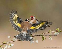 Goldfinch - carduelis