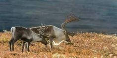 reinsdyr - Google-søk Horses, Animals, Animales, Animaux, Horse, Words, Animal, Animais