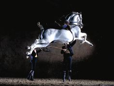 the Lipizzan, aristocracy of the horse world. (From Ponybox) Most Beautiful Horses, Pretty Horses, Horse Love, Animals Beautiful, Animals Amazing, Simply Beautiful, Beautiful Things, Alter Real, Lippizaner