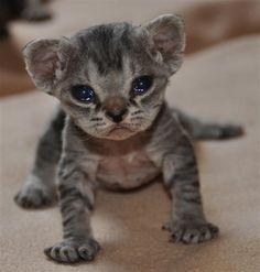 roar! What manner of feline beastie is this??