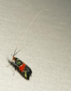Red-banded Fairy Longhorn Moth (Nemophora rubrofascia, Adelidae) | Flickr - Photo Sharing!