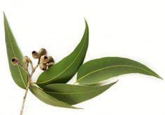 Olio essenziale di eucalipto usi e proprietà (scopri tutto cliccando ;-) )