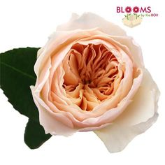 Wholesale Garden Rose Juliet Peach - Blooms by the Box This item is sold by the bunch in multiples of 2. (10 stems per bunch) 2 or more bunches	$79.80 per bunch