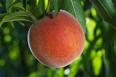 An ingenious pruning method for growing an orchard in a small backyard Plum Tree, Peach Trees, Fruit Trees, Trees To Plant, Prune Fruit, Tree Base, Garden Insects, Tree Pruning, Red Skin