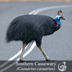 Featured Bird Species | Southern Cassowary (Casuarius casuarius)