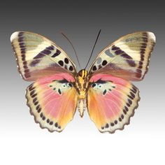Euphaedra Species - Look! at this color scheme How about a suit or dress & jacket in these colors?