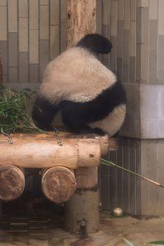 今日のパンダ(2143日目) | 毎日パンダ Zoo Animals, Animals And Pets, Funny Animals, Cute Animals, Funniest Animals, Beautiful Creatures, Animals Beautiful, Panda Background, Fat Panda