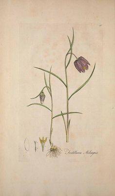 Fritillaria meleagris L. / Curtis, William, Flora Londinensis, vol. 3: t. 20[218] (1778-1781)