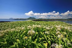 Crinum Lily Habitat in Tokkiseom Island (Rabbit Island) (제주 토끼섬 문주란 자생지)
