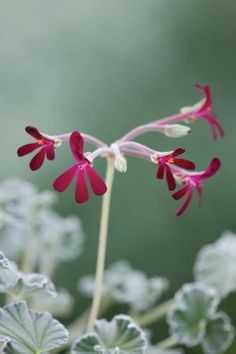 Pelargonium sidoides - South African Geranium Another favourite. The root is…