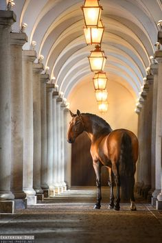 Gorgeous ALTER REAL LUSITANO stallion, Coronel AR, posing at his renowned home — The Stables of Alter Real stud farm — founded in 1748 by the Portuguese royal family. The Portuguese School of Equestrian Art (Escola Portuguesa de Arte Equestre) uses these horses exclusively in their performances.(Wikipedia) Photo by Ekaterina Druz, Lusitano World