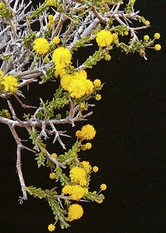 Acacia acanthoclada, commonly known as harrow wattle, is a low, divaricate, highly branched and spinescent shrub that is endemic to Australia. It occurs naturally in Western Australia, South Australia and Victoria and is listed as endangered under the Threatened Species Conservation Act in New South Wales