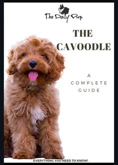 A complete guide to the Cavoodle! From training to selecting your new puppy. A complete guide to the Cavoodle! From training to selecting your new puppy. Puppies Tips, Tiny Puppies, Cute Puppies, Shitzu Puppies, Cavapoo, Cavoodle Dog, Puppy Breeds, Baby Dogs, Doggies