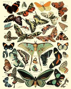 Vintage Butterfly Print, French Insect Chart Butterfly Illustration Biology Poster Wall Art Home Decor image 0 Illustration Papillon, Butterfly Illustration, Graphic Illustration, Graphic Art, Antique Illustration, Vintage Butterfly, Butterfly Art, Biology Poster, Art Papillon