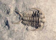 gigante fossile