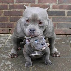 American Pitbull – All You Want to Know About This Breed – Pets and Animals Cute Dogs And Puppies, I Love Dogs, Doggies, Baby Dogs, Cute Funny Animals, Cute Baby Animals, Wild Animals, Beautiful Dogs, Animals Beautiful