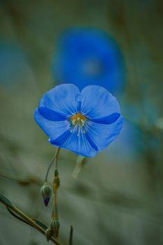 Untitled by Constantin-Andrei Rusu / Dandelion, Explore, Flowers, Plants, Dandelions, Plant, Taraxacum Officinale, Royal Icing Flowers, Flower