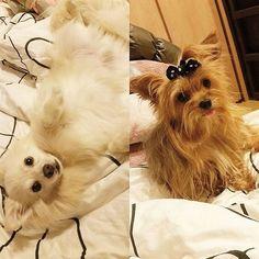 『ましろ🐺♂』&『あずき🐶♀』 #愛犬 #愛犬love #家族 #mix犬 #ポメチー #ヨーキー #かわいい #カワイイ #可愛い #ラブリー #わんこ #dog #dogs #dogstagram #family #mixturedog #pomeranianmix #chihuahuamixture #yorkie #yorkiesofinstagram #kawaii #lovelydog