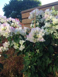 Full bloom bougenvillia