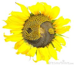 Sunflower With The Symbol Of Yin-yang - Download From Over 47 Million High Quality Stock Photos, Images, Vectors. Sign up for FREE today. Image: 16865993