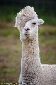 me and my llama?