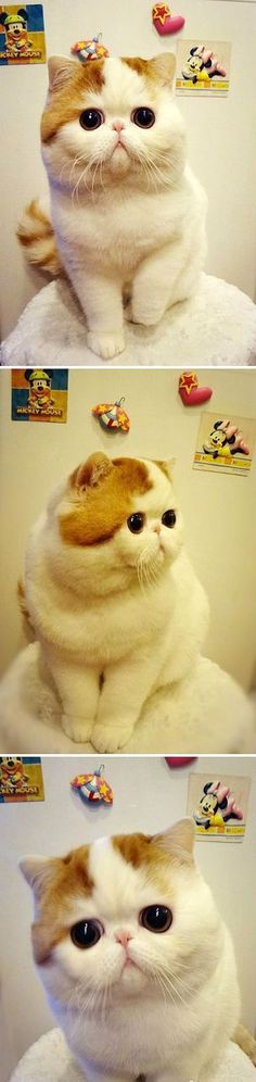 Exotic Shorthair, American Shorthair cat break the Persian cat breed. Hair is short and smooth young, soft and long Ns. The face is closed, such as the type that Iran kedisinin. Pretty actress, attractive in terms of image and are very expensive. Healthy and soft hair should be brushed regularly.
