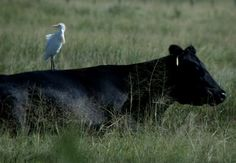 This picture shows commensalism because the white colored bird is trying to get rid of the insects by eating them from the animal as it is not being harmed or benefited. Image Shows, Picture Show, Cow, Birds, Horses, Relationship, Pictures, Animals, Benefit