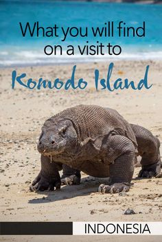 Visiting Indonesia's Komodo Island is a true adventure. It's here that you'll come face to face with one of the world's deadliest animals - the Komodo Dragon! Here's what to expect when you travel to Komodo Island in Indonesia. China Travel, Bali Travel, Travel Abroad, France Travel, Thailand Travel, Chiang Mai Thailand, Koh Lanta Thailand, Backpacking South America, Backpacking Asia