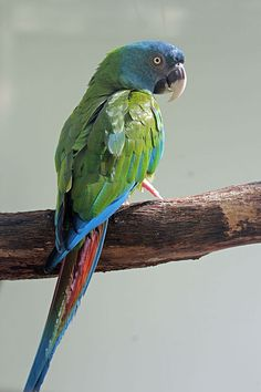 Coulon's or Blue Headed macaw.