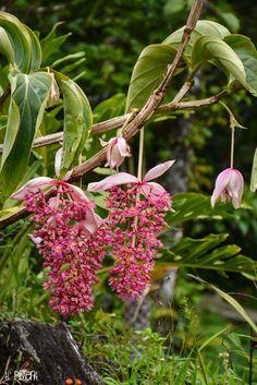Martinique, Domaine d'Emeraude à Morne Rouge - Fleur exotique