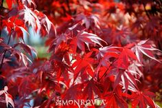Looking for a small tree with a lot of attitude? Fireglow Japanese Maple has it all! Bright crimson red leaves, slow growing, upright habit and sun tolerant.