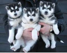 awwwww...they have the cutest little baby face! love huskies!