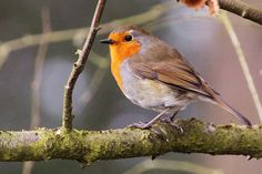 Birdsong - Robin Bird Song - Nature Sounds All source material used on this channel is royalty free for commercial use and is used with permission. Cute Birds, Pretty Birds, Robin Vogel, European Robin, Bird Free, Brown Bird, Nature Sounds, Red Squirrel, Bird Perch