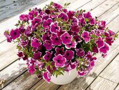 Чтобы петуния радовала вас пышным цветом, за ней нужно правильно ухаживать. Не забудьте своевременно прищипывать и удалять ее верхние отросшие побеги. Если растение не корректировать, то оно не будет куститься, уйдет полностью в рост, а это испортит его внешний вид. Начинайте прищипывать петунию,